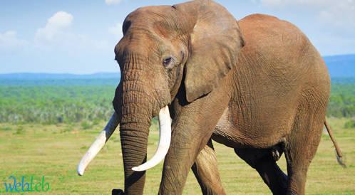 اكتشاف آلية قد تفسر مستويات السرطان المنخفضة في أوساط الفيلة