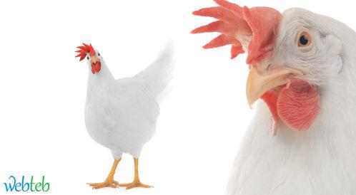 مخاوف من انتشار انفلونزا الطيور في مصر