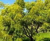 شجرة النيم وسرطان البنكرياس