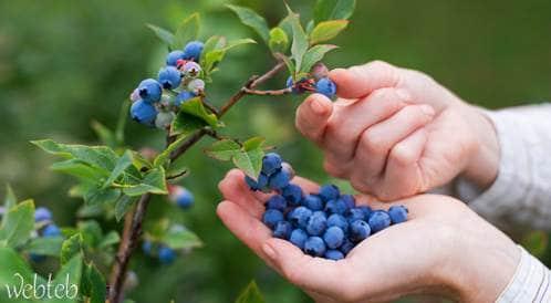 تناول التوت الأزرق قد يقلل من خطر الإصابة بالزهايمر