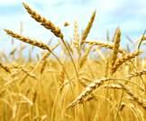 أضرار بروتين القمح الخطيرة
