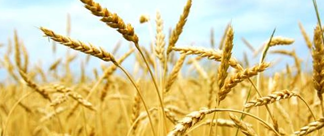 بروتينات القمح قد تؤدي الى الإصابة بالتهاب الأمعاء