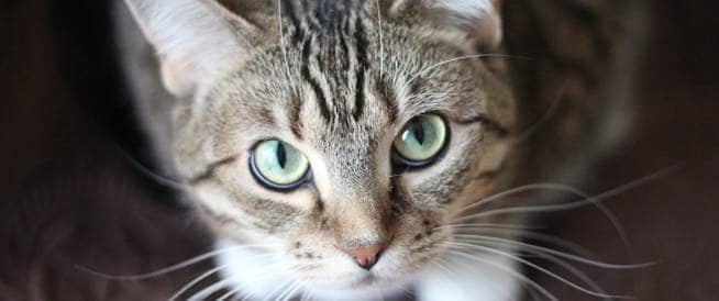 القطط قد ترفع خطر إصابتك بالزهايمر