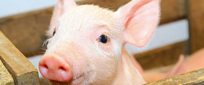 تطوير كائن مهجن مخبرياً يجمع ما بين الخنزير والإنسان