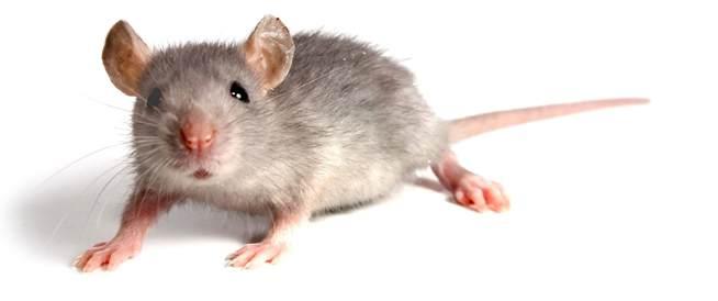 ثورة في العلم: العلماء يصنعون جنين فأر بنجاح