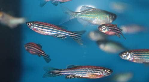 هل تحمل الأسماك الحل لعلاج العمى؟