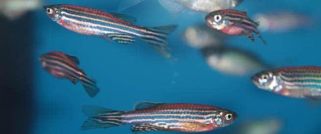 هل تساعد أعين الأسماك على علاج العمى؟