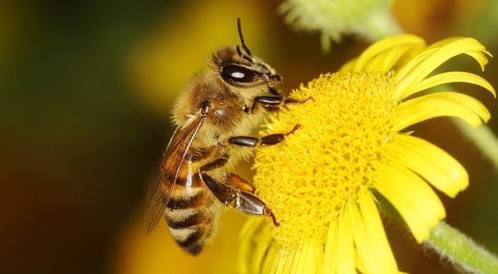 انقراض النحل