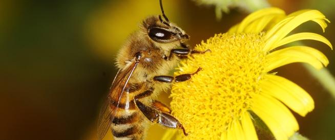 ماذا سيحصل في حال انقراض النحل؟