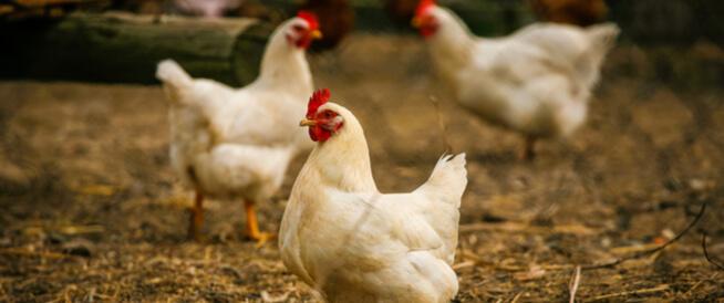 الصين تسجل أولى حالات الإصابة البشرية بإنفلونزا الطيور