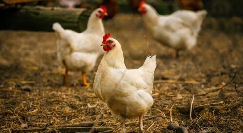 انفلونزا الطيور تعود للواجهة من جديد