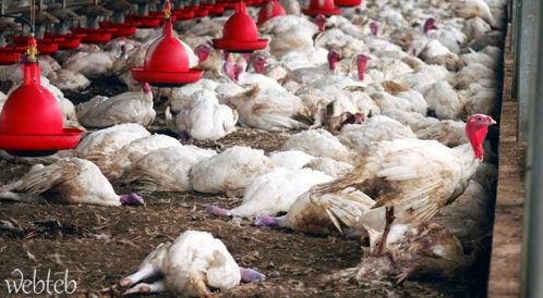 انفلونزا الطيور تقلق الدول وتخيف المواطنين