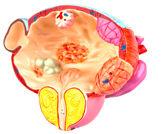 التادالافيل:  مثبط -5 فسفودايستراز لعلاج تضخم البروستاتا الحميد
