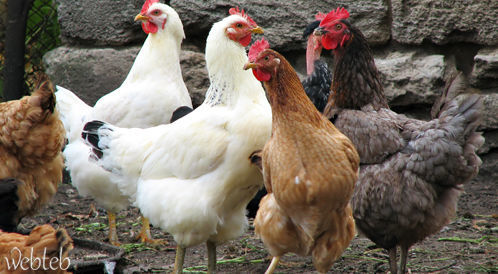أسئلة شائعة حول انفلونزا الطيور