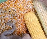 5 فوائد صحية للذرة