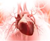 معلومات بالصور عن قلب الإنسان