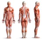 عضلات الإنسان بالصور