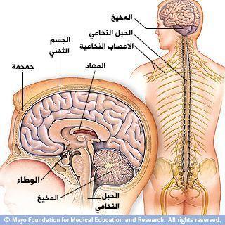 الدماغ البشري والجهاز العصبي