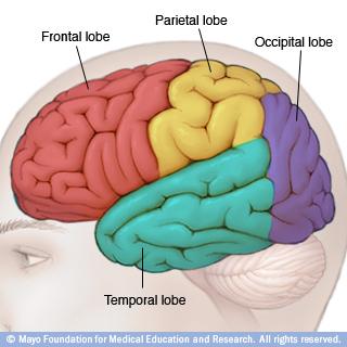 فصوص الدماغ