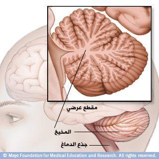 المخيخ وجذع الدماغ