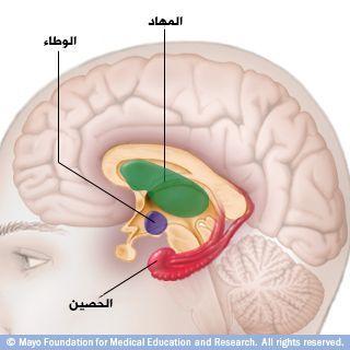 الدماغ الداخلي