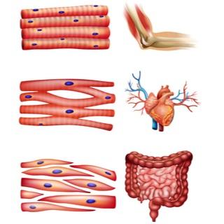 عضلات الإنسان