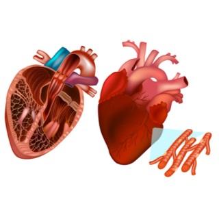 العضلة القلبية