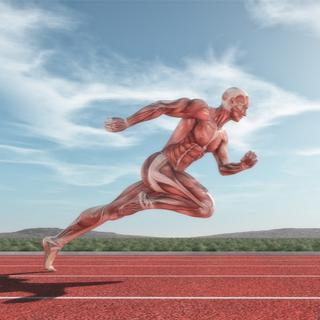 وظيفة العضلات الهيكلية