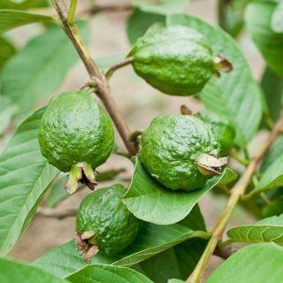 اوراق وقشور جذع الجوافة