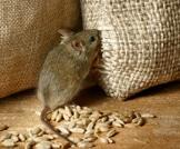 أمراض تنقلها الفئران