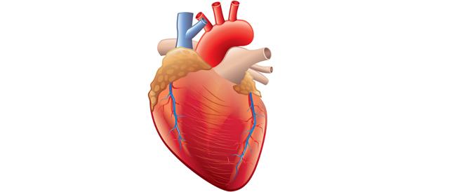 كيف يعمل القلب؟ كافة التفاصيل من هنا
