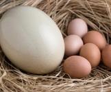 بيض النعام