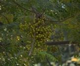شجرة النيم: فوائد واستخدامات