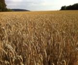 ما هي حبوب الحنطة وأهميتها في الجسم؟