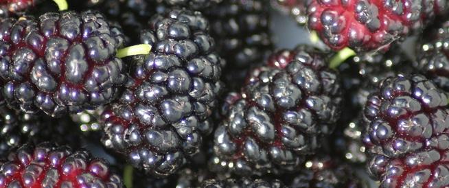 التوت الشامي: فوائد مذهلة لهذه الفاكهة اللذيذة