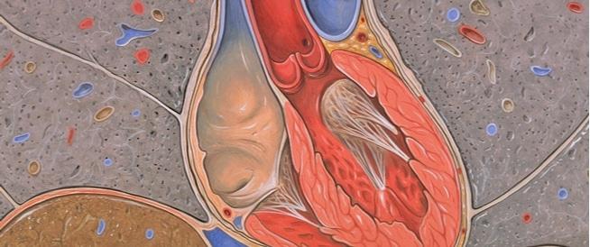 ما هي صمامات القلب ووظيفتها في الجسم؟