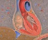 ما هي صمامات القلب