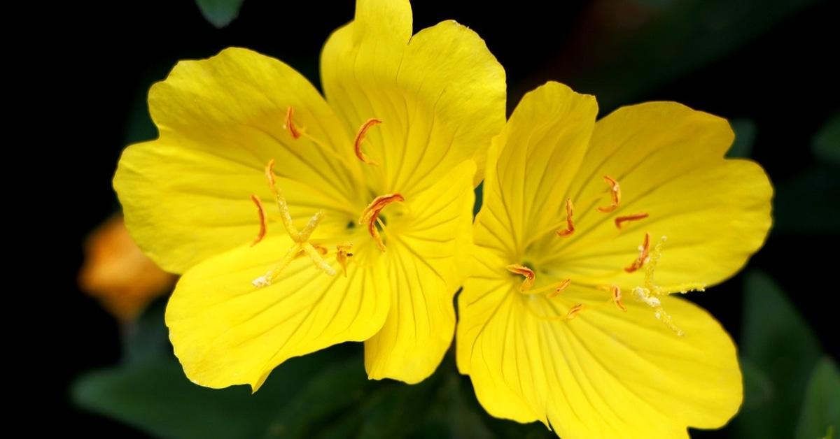 زهرة الربيع المسائية لا تفوت فوائدها ويب طب