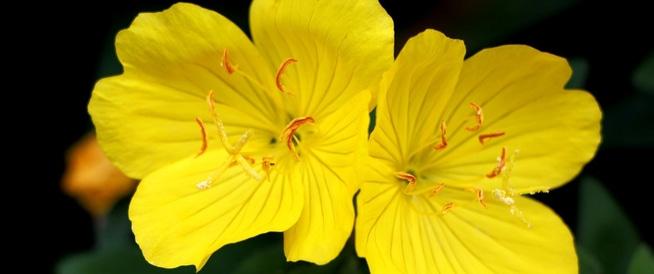 زهرة الربيع المسائية: لا تفوت فوائدها