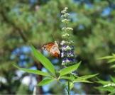 عشبة أم الجلاجل: فوائد عديدة للحمل والخصوبة
