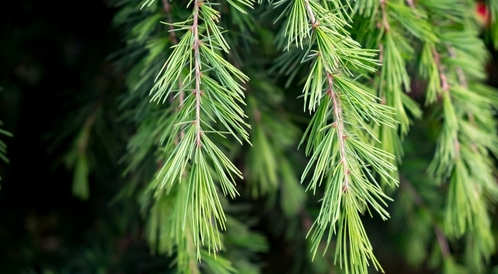 فوائد شجرة الأرز وزيتها