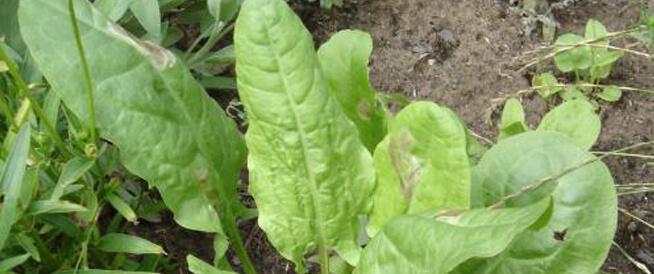 فوائد الحميض: أوراق خضراء بفوائد عجيبة