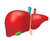 وظائف الكبد