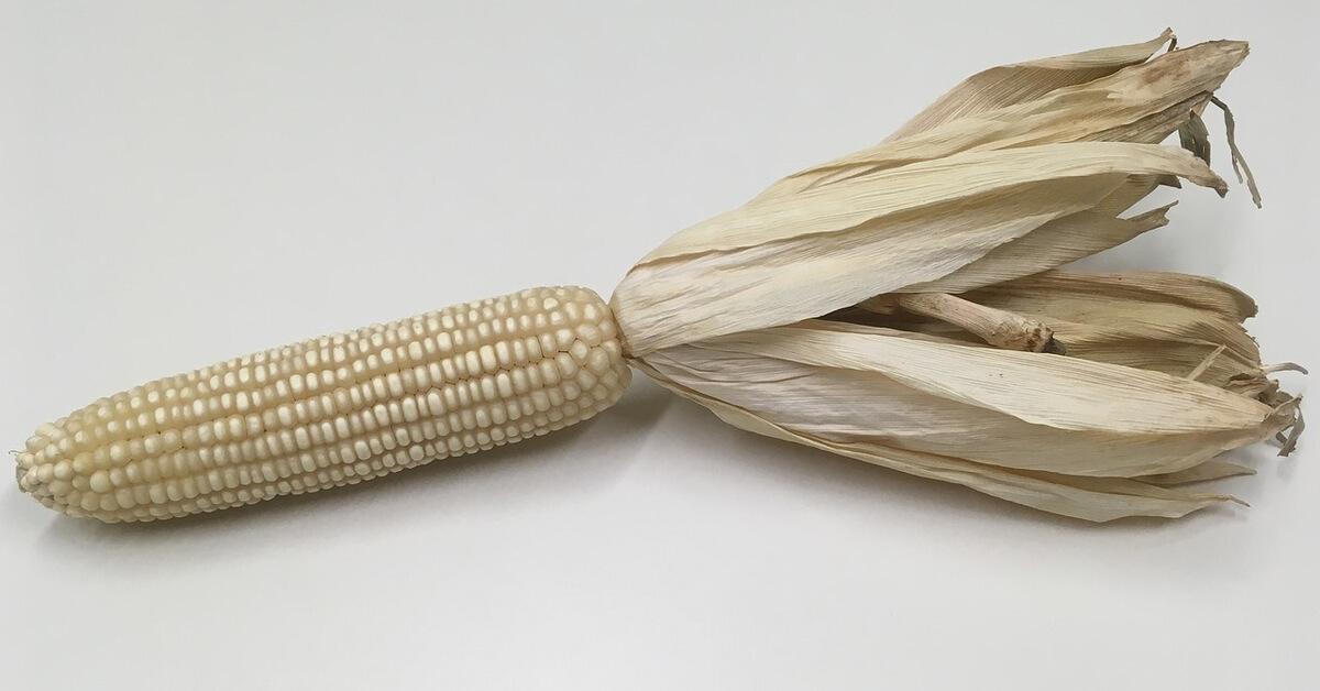 الذرة البيضاء فوائد مختلفة عن الذرة الصفراء ويب طب