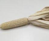 الذرة البيضاء