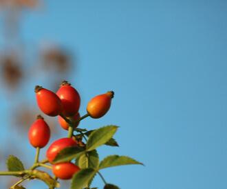 زيت بذور الورد: فوائد سحرية لجمالك
