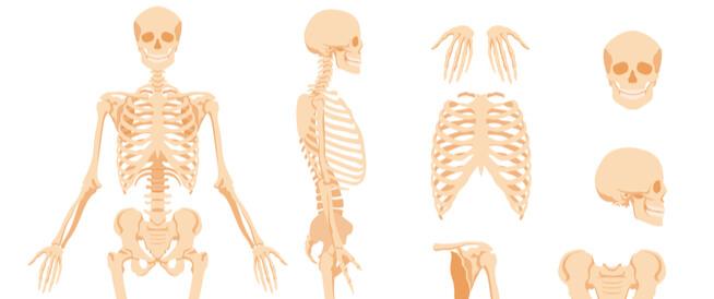 كم عظمة في جسم الإنسان؟