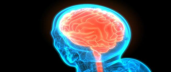 ما هي أجزاء الدماغ?