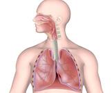 ما هي مكونات الجهاز التنفسي؟