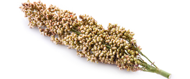 السورغم: نوع آخر من الحبوب الصحية